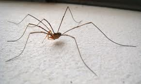 Daddly Long Legs Spider