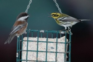 Chicadee and Warbler Fighting on Bird Feeder