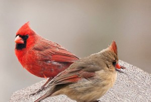 Male and Female Cardinal Perched in Opposite Directions