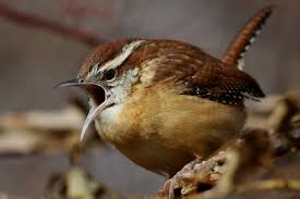 Wren With Mouth Open Wide
