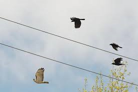 hawk chased by crows